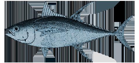 Scuola channel progetto - Marinare il tonno prima di cucinarlo ...